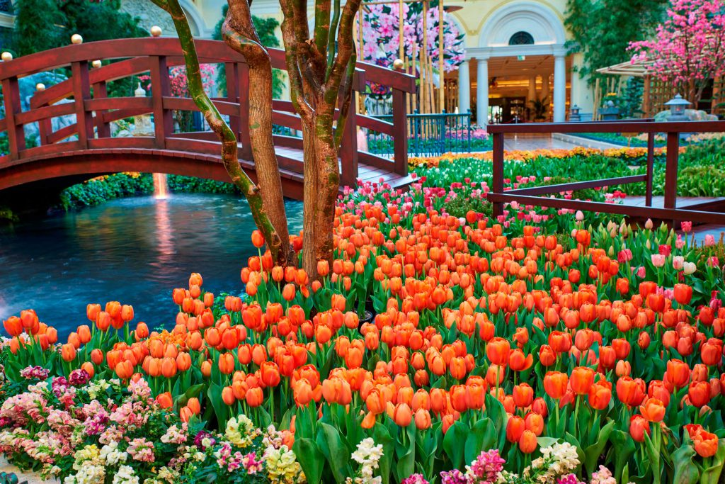 The Japanese-inspired garden boasts a vibrant collection of more than 82,000 flowers, including 12 types of tulips.  Image courtesy of the Bellagio.