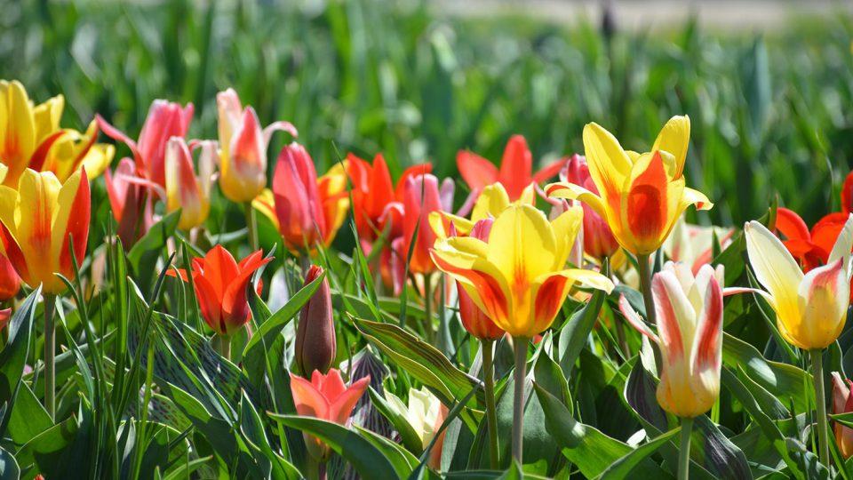 Tulip flowers in Holland, MI